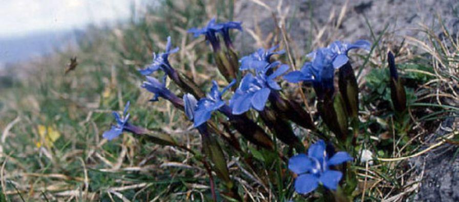 Burren in Bloom